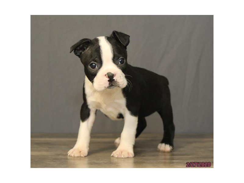 Boston Terrier-Male-Black / White-2647838-Petland Carriage Place