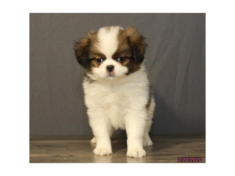 Japanese Chin-Male-Brown / White-2647839-Petland Carriage Place