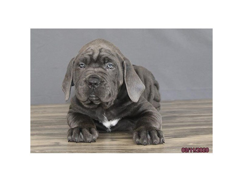 Cane Corso-Male-Blue-2654769-Petland Carriage Place