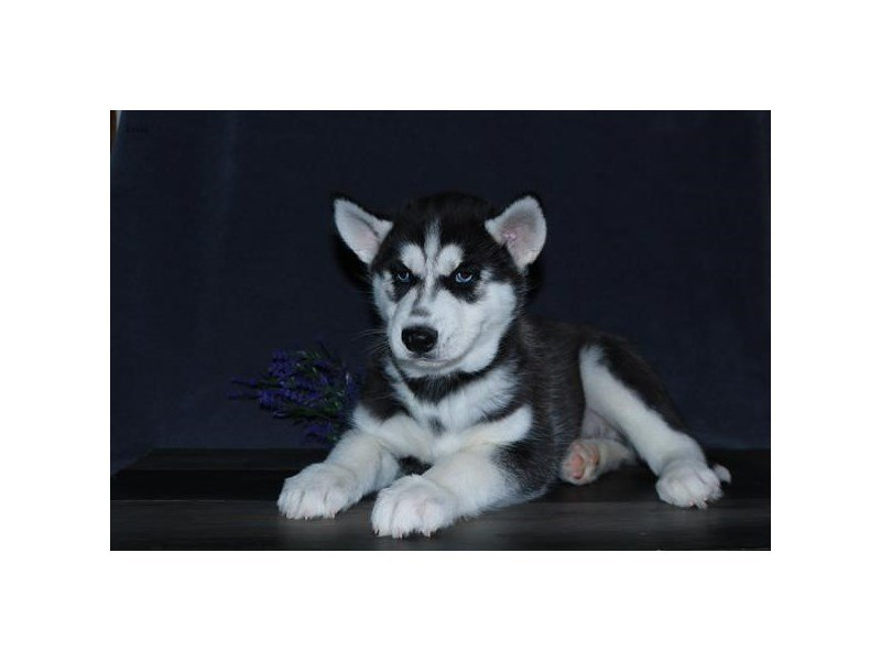 Siberian Husky-Male-Black / White-2654777-Petland Carriage Place