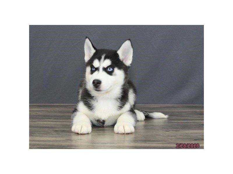 Siberian Husky-Male-Black / White-2654780-Petland Carriage Place