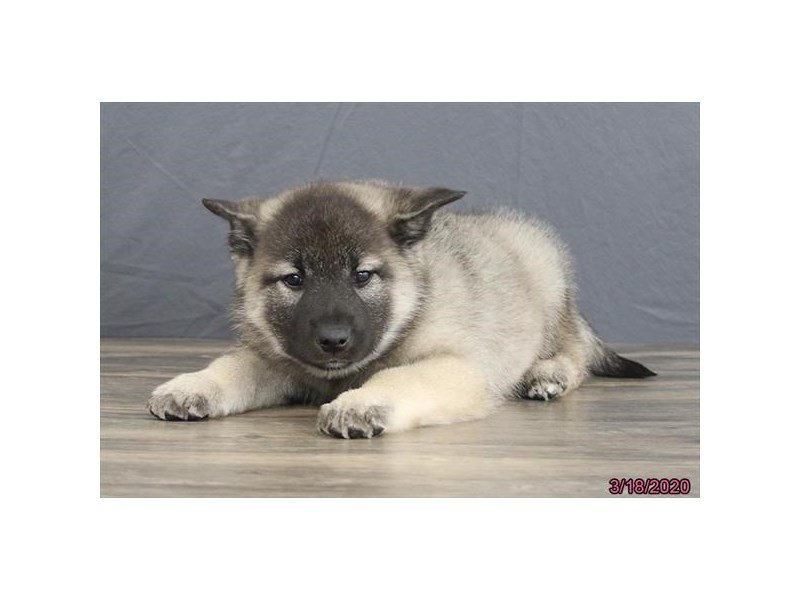 Norwegian Elkhound-Male-Black / Silver-2661361-Petland Carriage Place