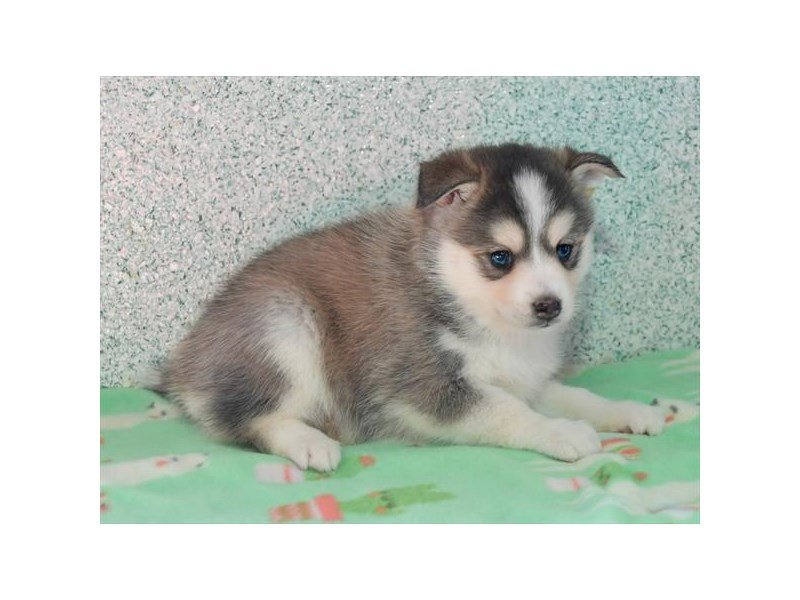 Pomsky-Female-Gray / White-2667717-Petland Carriage Place