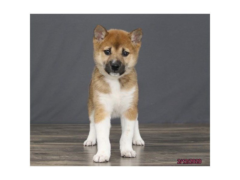 Shiba Inu-Male-Red Sesame-2625263-Petland Carriage Place
