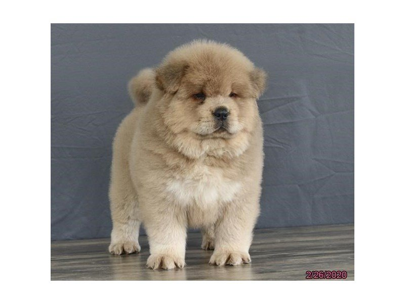 Chow Chow-Male-Blue Fawn-2639979-Petland Carriage Place