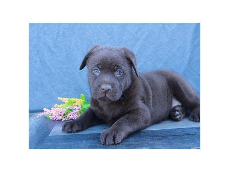 Labrador Retriever-Female-Chocolate-2680432-Petland Carriage Place