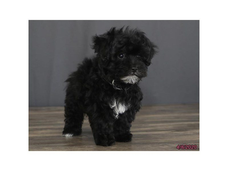 Poodle/Havanese-Female-Black / White-2680669-Petland Carriage Place