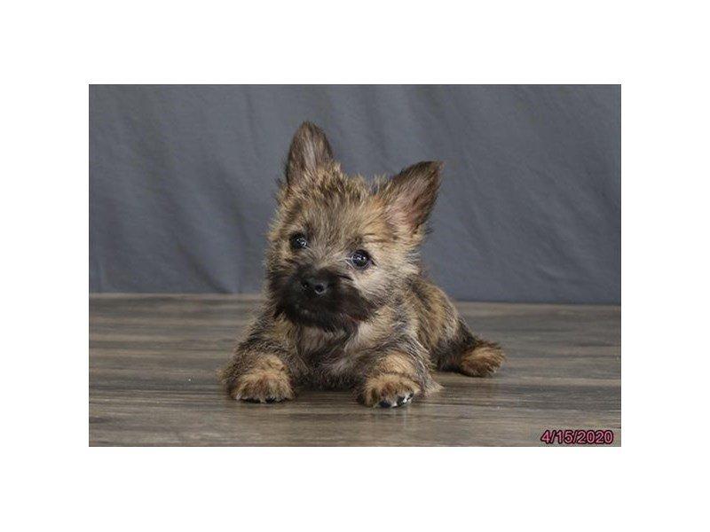 Cairn Terrier-Female-Wheaten-2687128-Petland Carriage Place