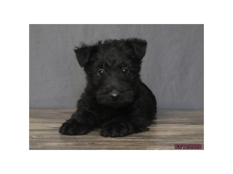 Scottish Terrier-Female-Black-2673809-Petland Carriage Place