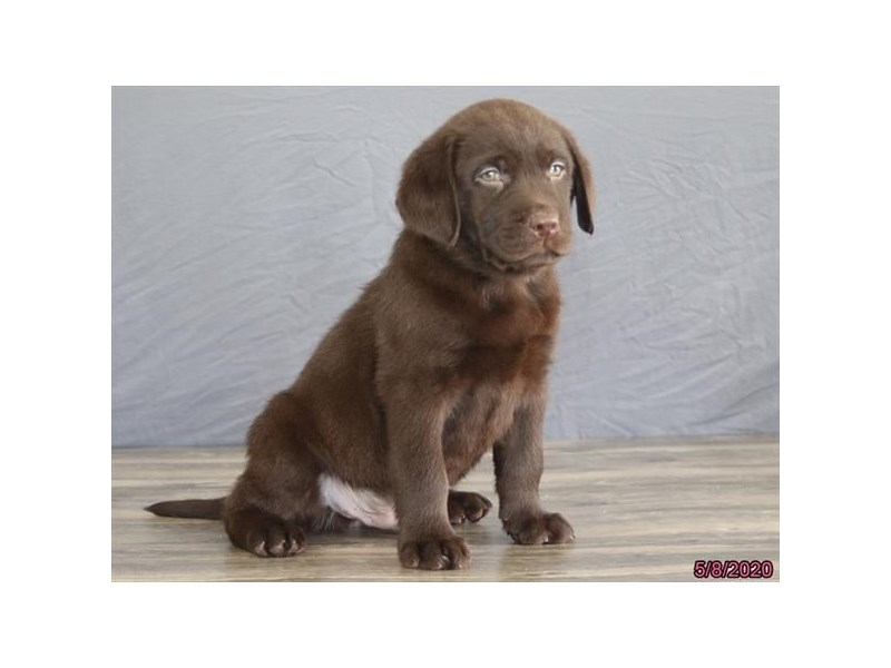 Labrador Retriever-Male-Chocolate-2707138-Petland Carriage Place