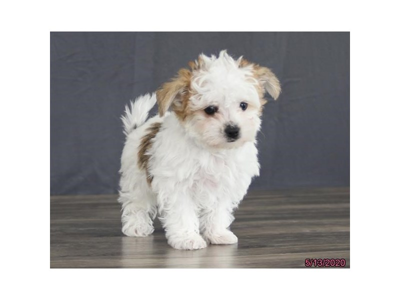 Morkie-Male-White / Brown-2713950-Petland Carriage Place