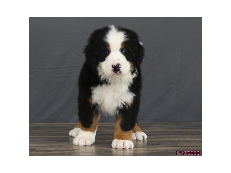 Bernese Mountain Dog-Male-Black Tan / White-2714007-Petland Carriage Place