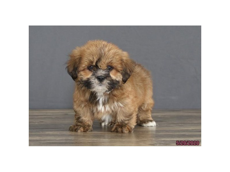 Lhasa Apso-Male-Red-2720242-Petland Carriage Place