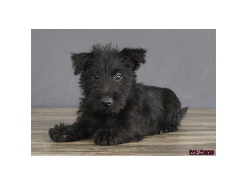 Scottish Terrier-Male-Black-2720244-Petland Carriage Place
