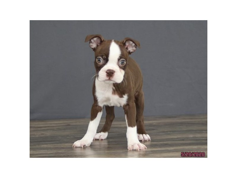 Boston Terrier-Male-Seal / White-2720250-Petland Carriage Place