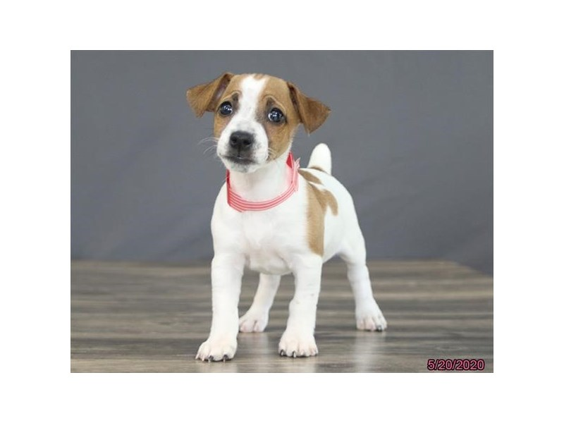 Jack Russell Terrier-Female-Brown / White-2720353-Petland Carriage Place