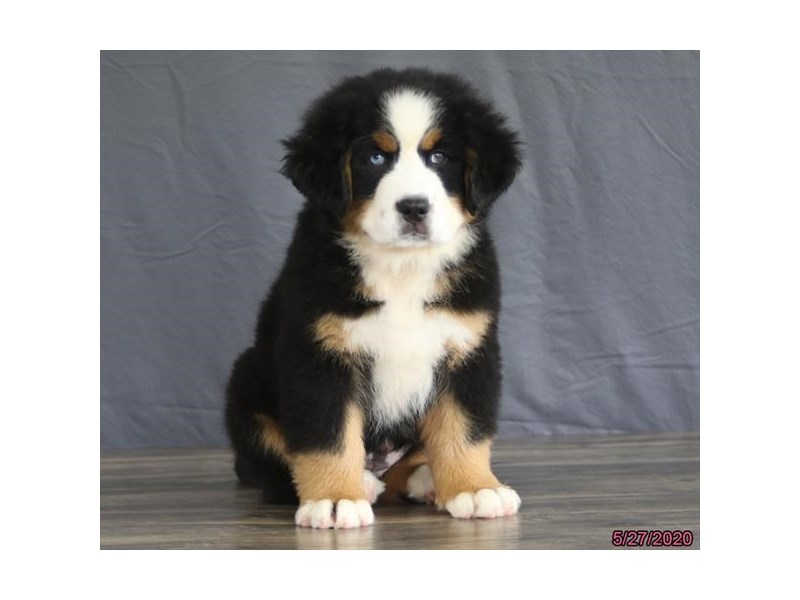 Bernese Mountain Dog-Female-Black Tan / White-2727388-Petland Carriage Place