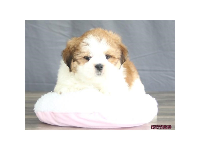 Lhasa Apso-Male-Red / White-2727397-Petland Carriage Place