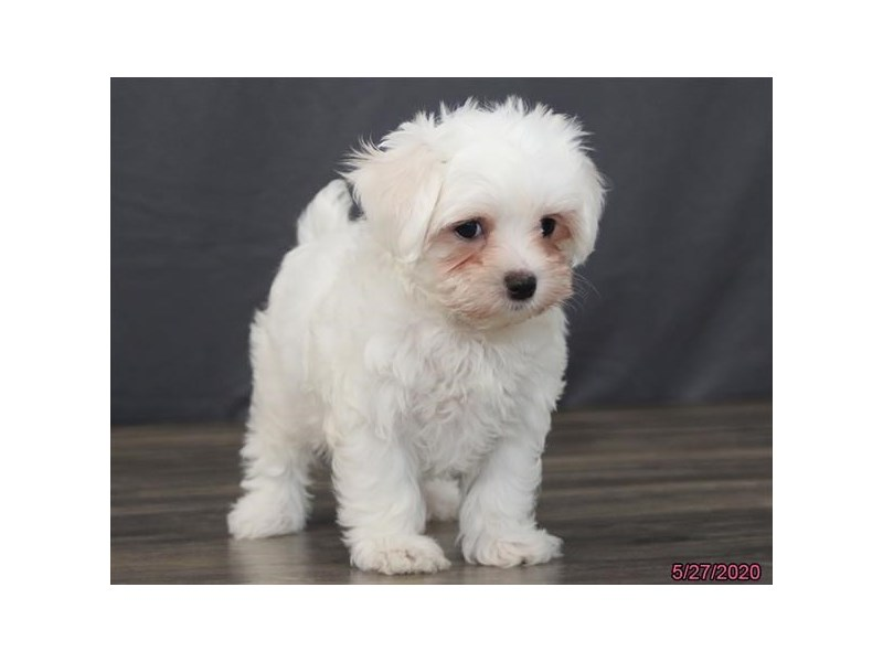 Maltese-Female-White-2727411-Petland Carriage Place