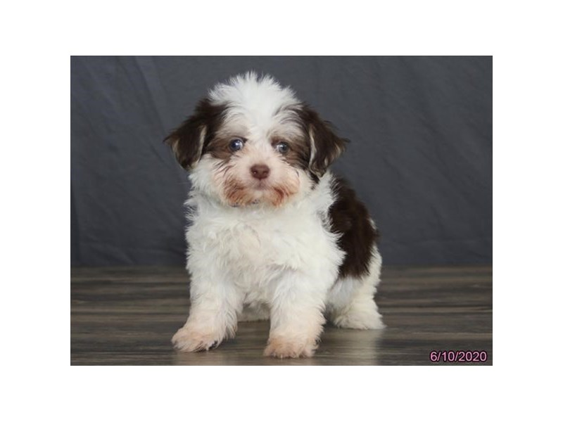 Havanese-Male-Chocolate / White-2741814-Petland Carriage Place