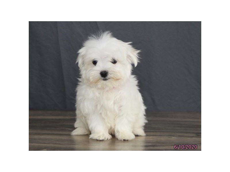 Maltese-Female-White-2741822-Petland Carriage Place