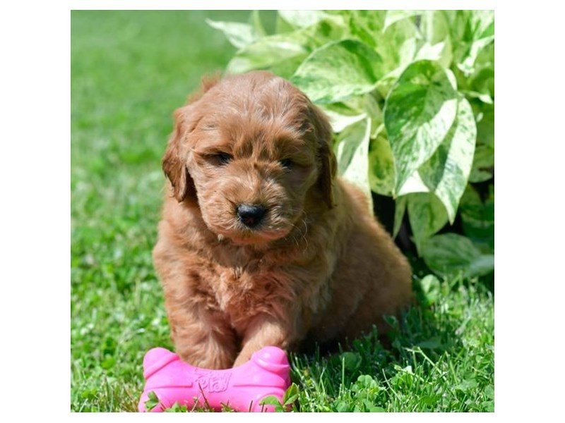 Goldendoodle Mini-Male-Red-2748852-Petland Carriage Place