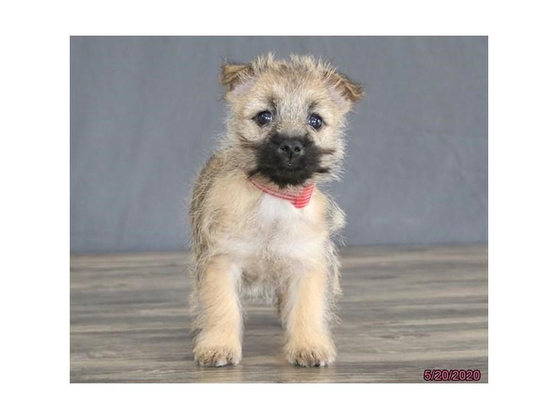 Cairn Terrier-Female-Wheaten-2720232-Petland Carriage Place