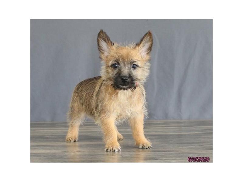 Cairn Terrier-Female-Wheaten-2734477-Petland Carriage Place