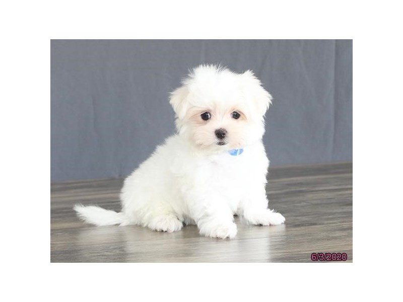 Maltese-Male-White-2734511-Petland Carriage Place