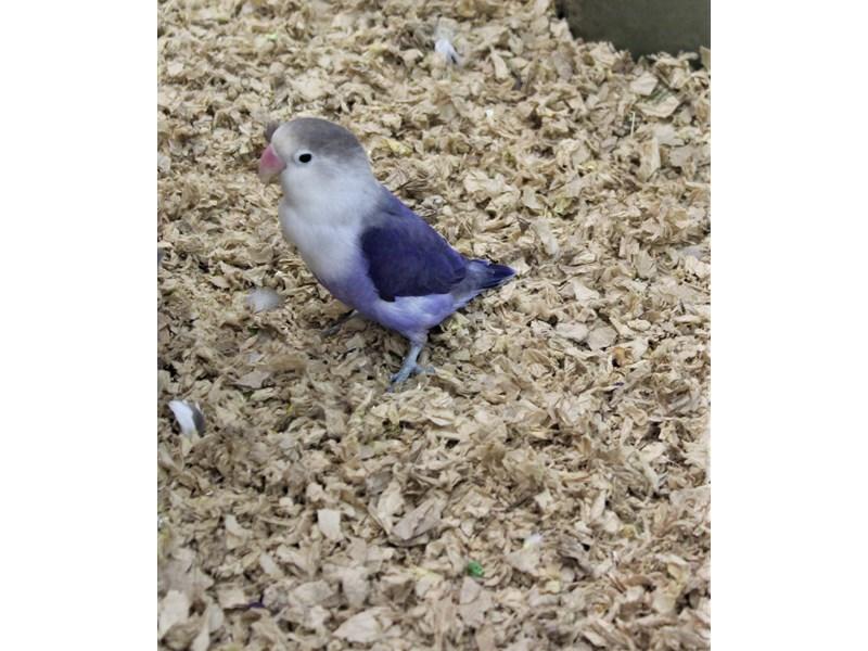 lovebird-Male--2300952-Petland Carriage Place