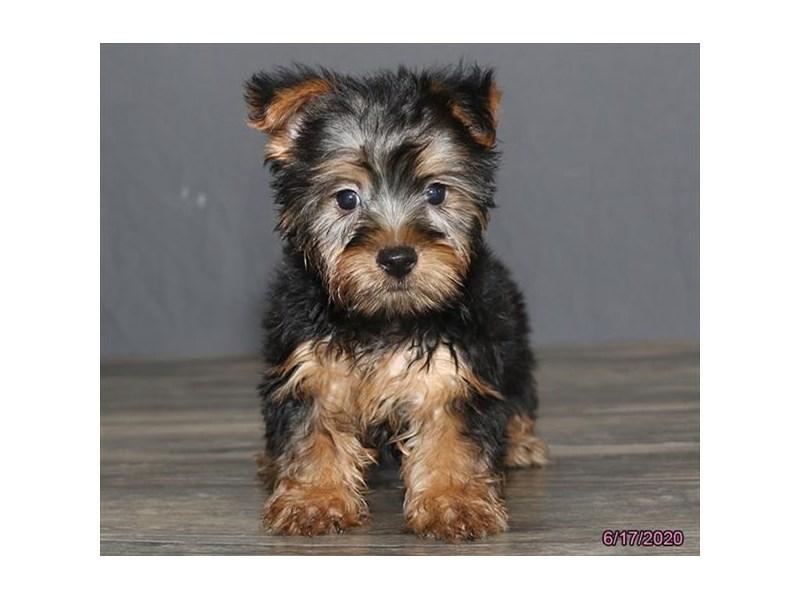Silky Terrier-Female-Black / Tan-2748855-Petland Carriage Place