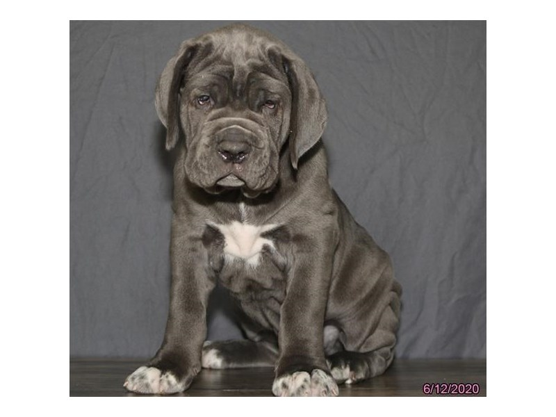 Neapolitan Mastiff-Male-Blue-2756379-Petland Carriage Place