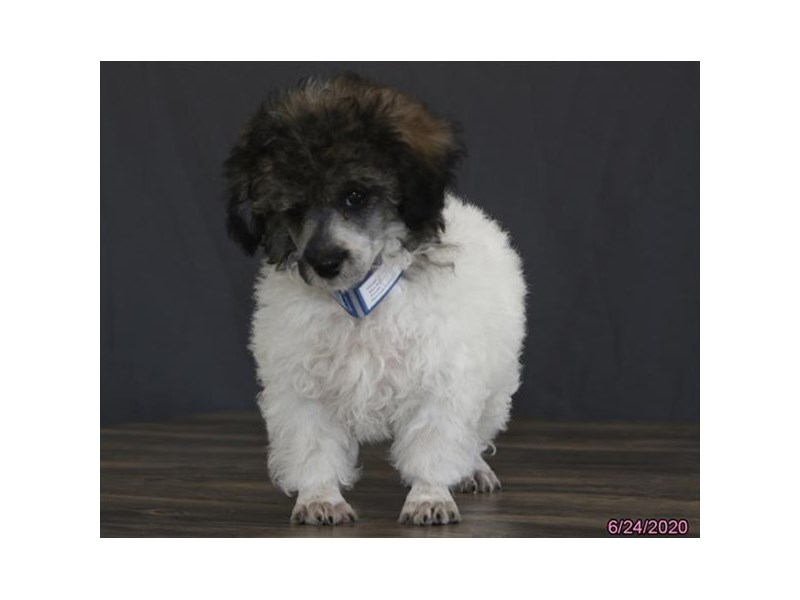 Poodle-Male-Sable / White-2756399-Petland Carriage Place