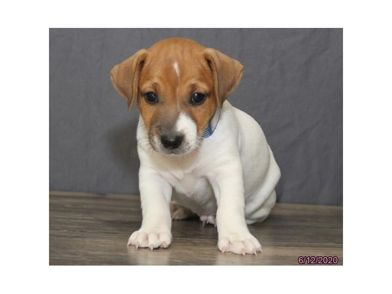 Jack Russell Terrier-Male-Brown / White-2756417-Petland Carriage Place