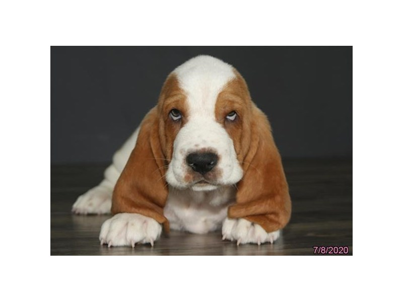 Basset Hound-Male-Lemon / White-2772032-Petland Carriage Place
