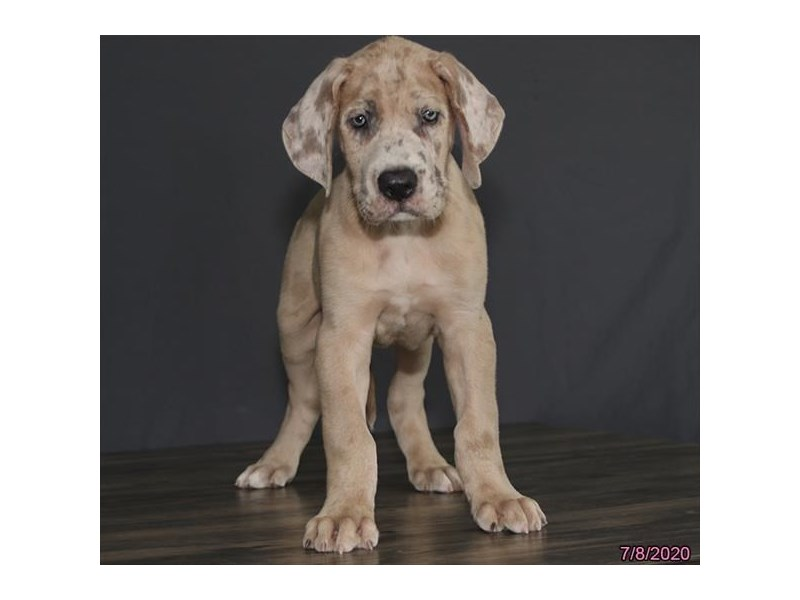 Great Dane-Male-Fawnequin-2772040-Petland Carriage Place