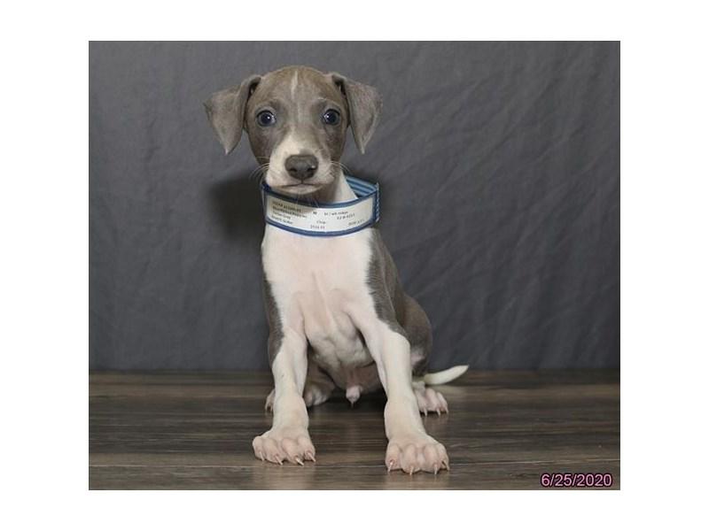 Italian Greyhound-Male-Blue-2772066-Petland Carriage Place
