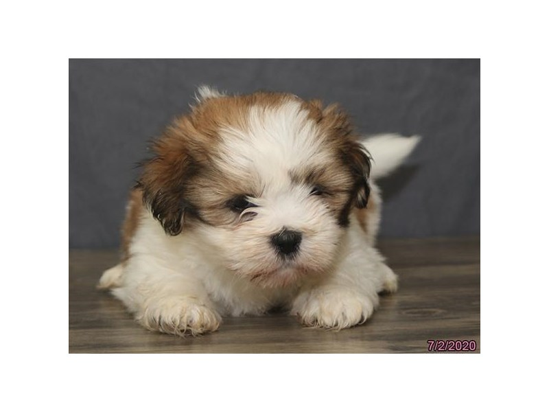 Lhasa Apso-Male-Red / White-2779702-Petland Carriage Place