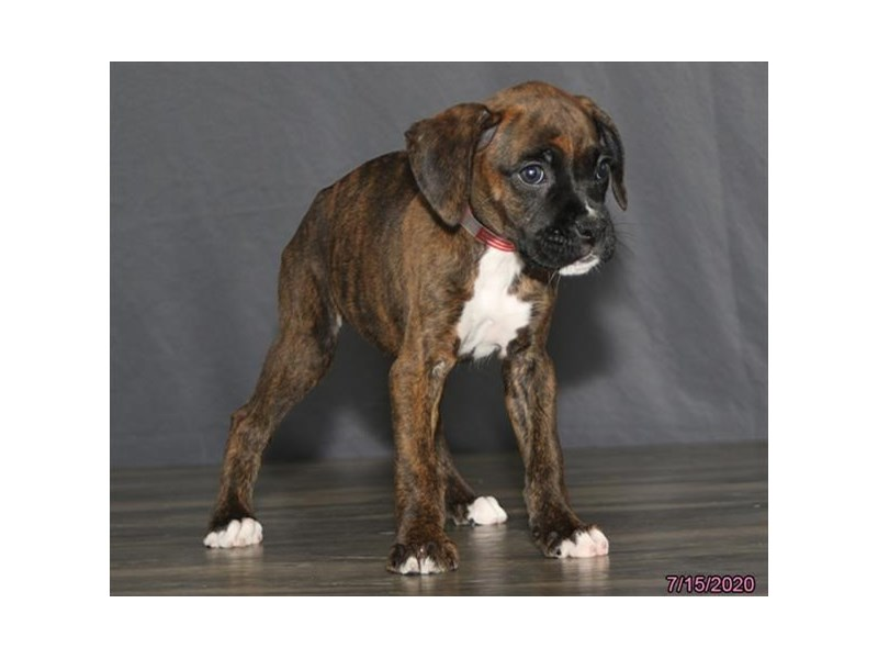 Boxer-Female-Brindle-2779797-Petland Carriage Place