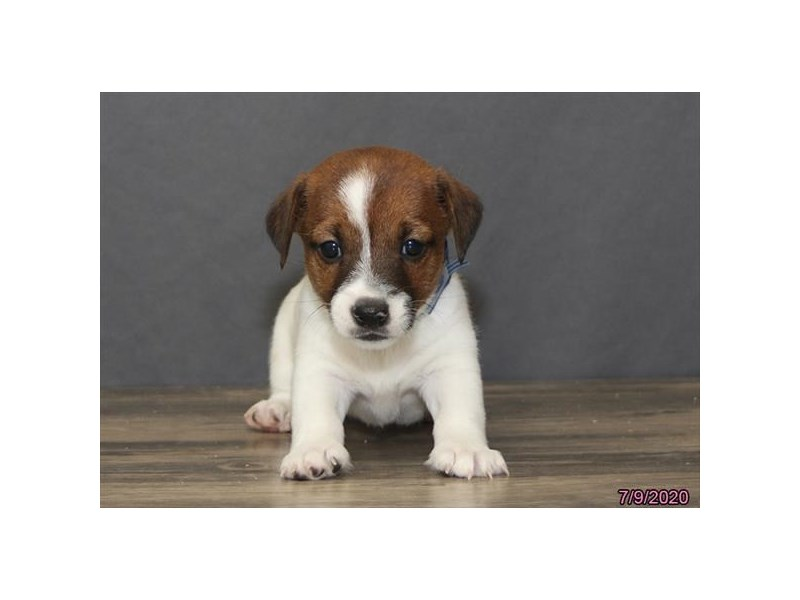 Jack Russell Terrier-Male-Brown / White-2787291-Petland Carriage Place