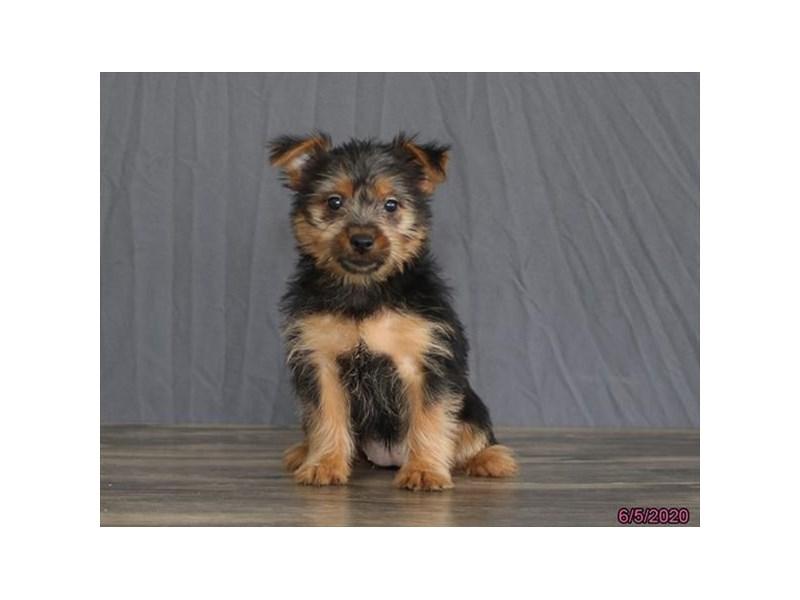 Silky Terrier-Female-Black / Tan-2734503-Petland Carriage Place