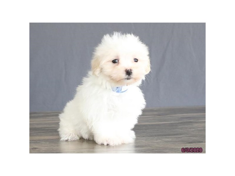 Maltese-Male-White-2734512-Petland Carriage Place