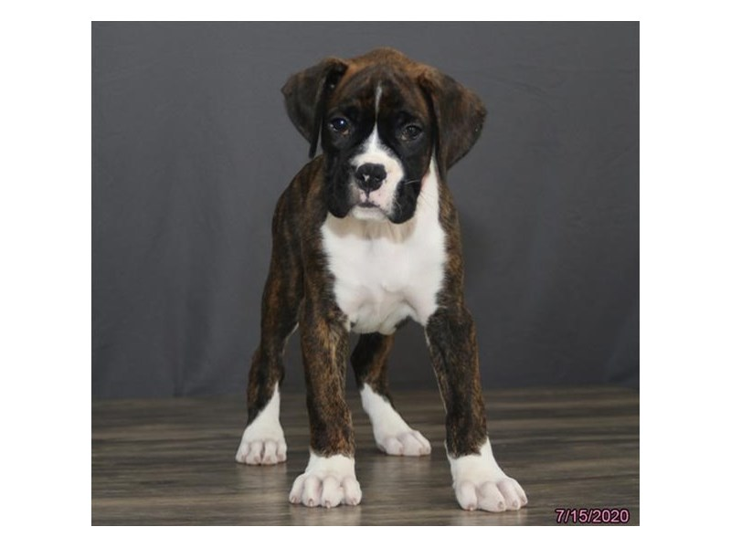 Boxer-Male-Brindle-2779769-Petland Carriage Place