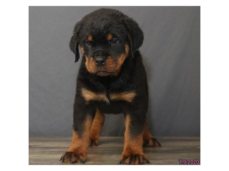 Rottweiler-Male-Black / Tan-2787274-Petland Carriage Place