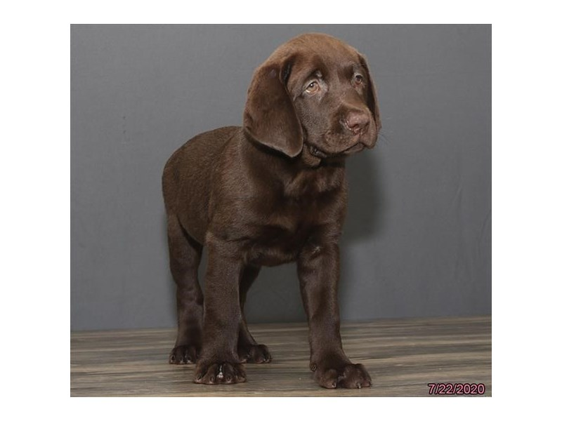 Labrador Retriever-Male-Chocolate-2787284-Petland Carriage Place