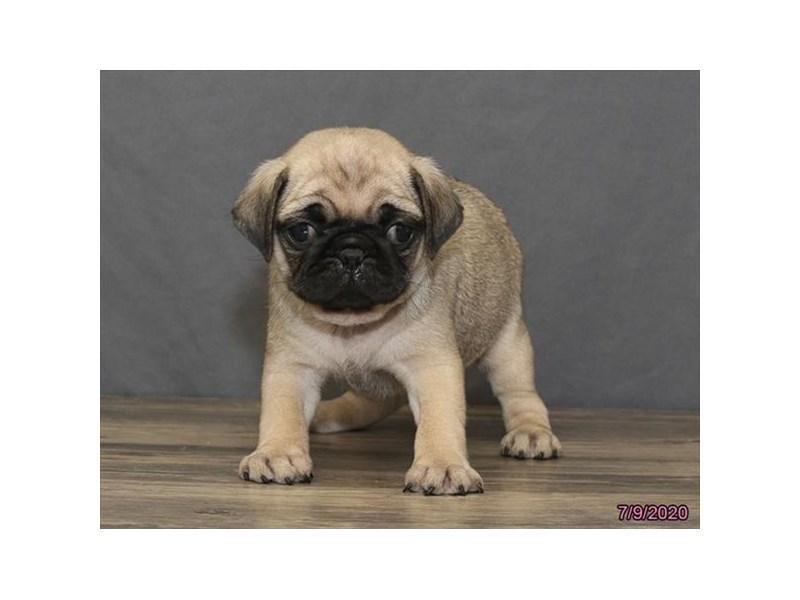 Pug-Female-Fawn-2787294-Petland Carriage Place