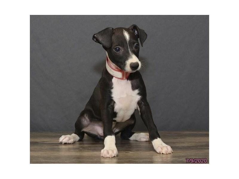 Italian Greyhound-Female-Black-2787302-Petland Carriage Place