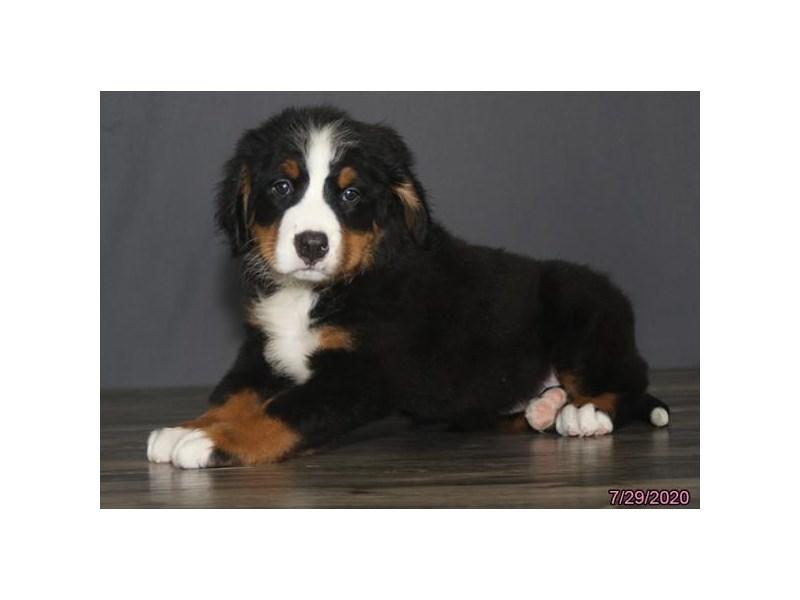 Bernese Mountain Dog-Female-Black Rust / White-2794290-Petland Carriage Place