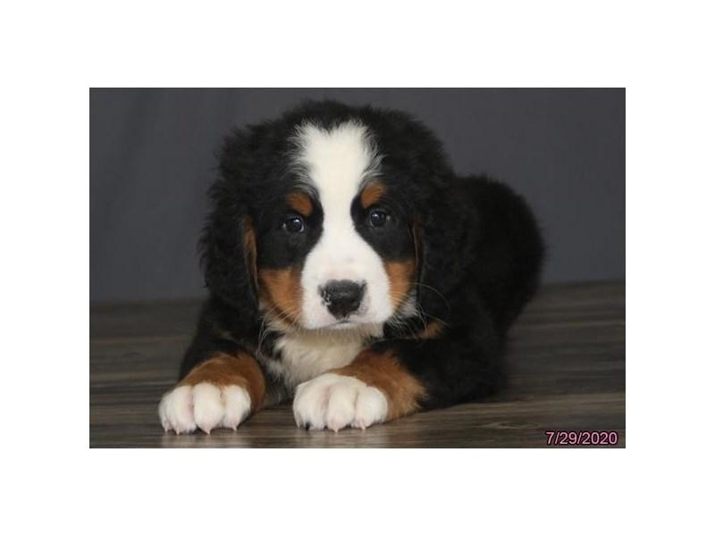Bernese Mountain Dog-Male-Black Rust / White-2794291-Petland Carriage Place