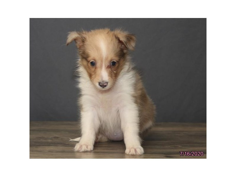 Shetland Sheepdog-Female-Sable / White-2794295-Petland Carriage Place